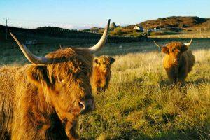 Carloway Cows
